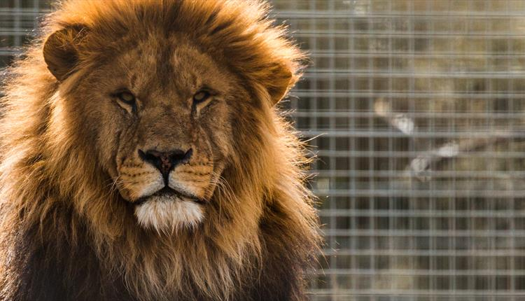 Fearsome Feasts: Big Cats and Chilli at Newquay Zoo